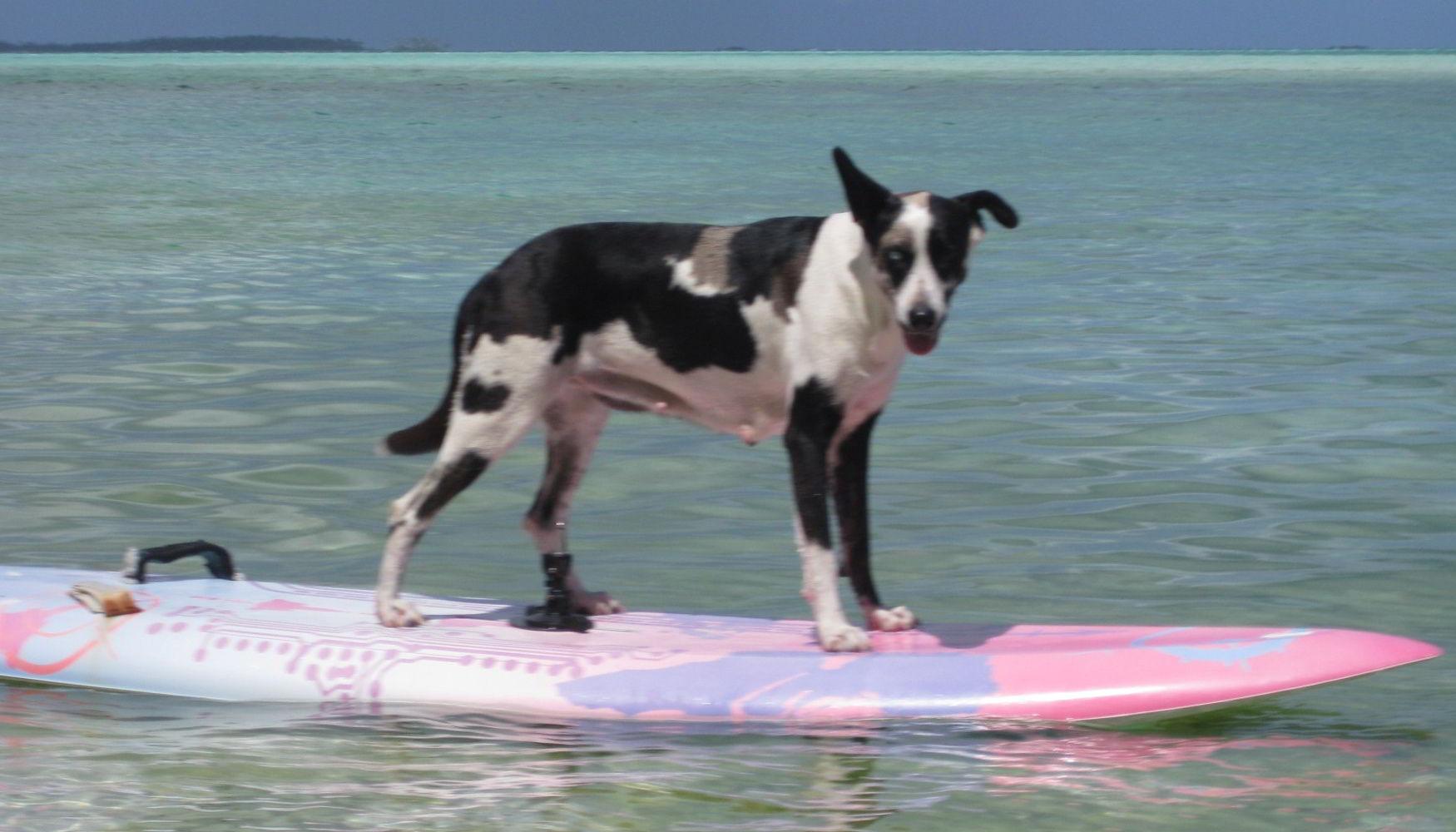 Teach your dog to surf on Motu Moie