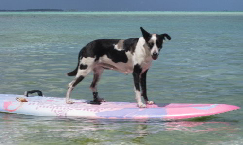 Teach dog to surf from Motu Moie, the waves come later