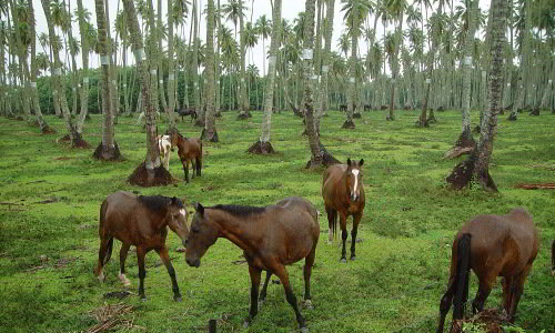 wild horses on Raiatea, no Coronavirus here