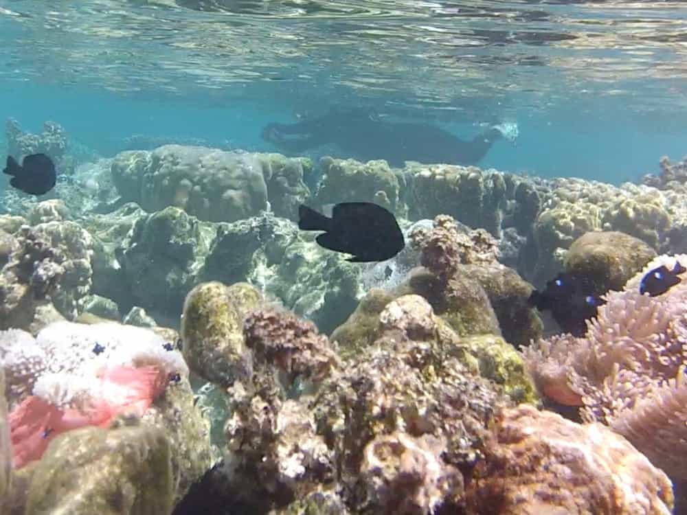 snorkeling over the coral in Tahiti lagoon