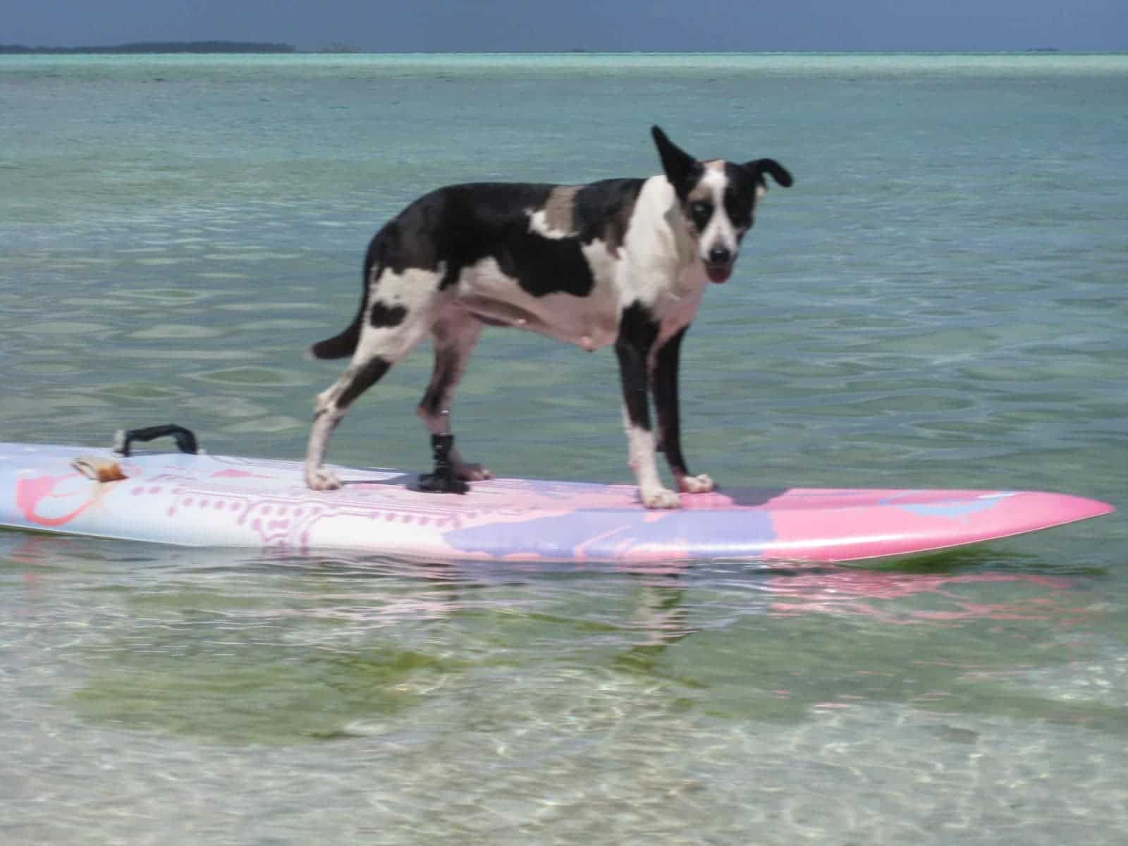our dog on Motu Moie watched us windsurf, and thought he would try himself