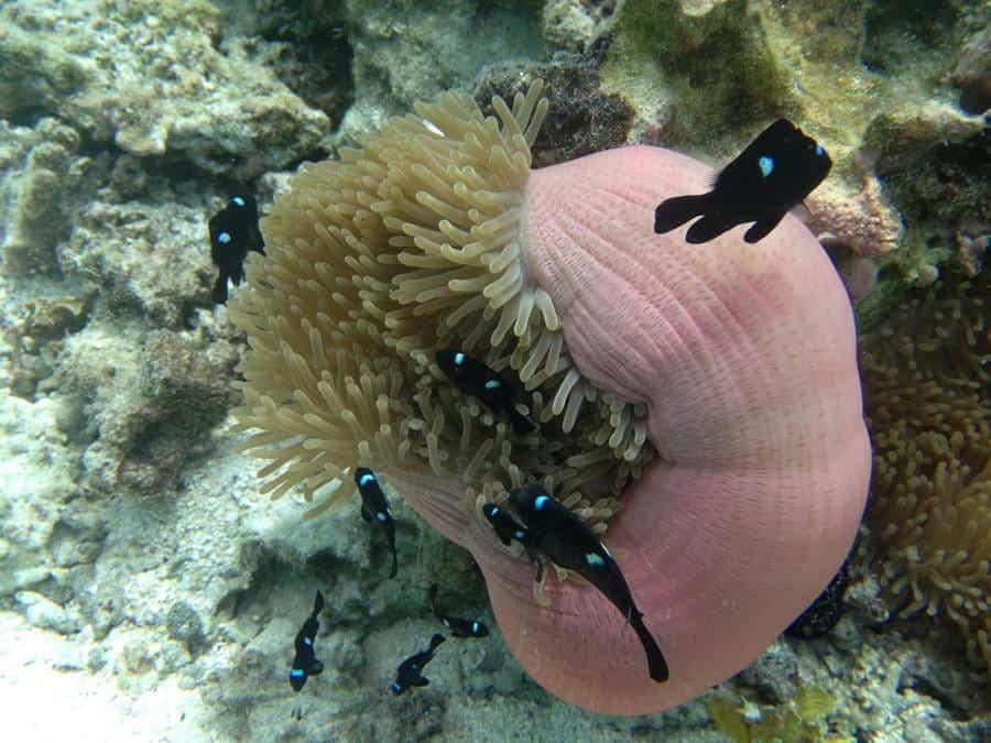 sea anemone in the coral garden near Motu Moie Tahiti island for sale